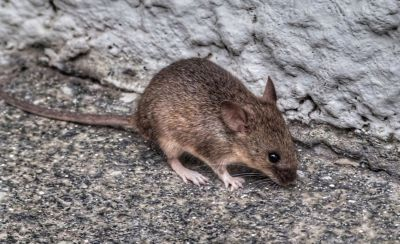 mouse on concrete near a grey wall
