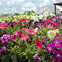 Image of petunias