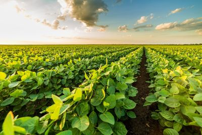 Row of soybeans