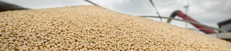 Soybean harvest, soybeans, soybean field