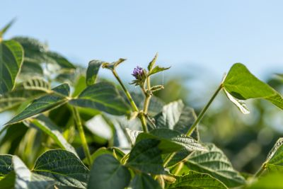 Soybean up close