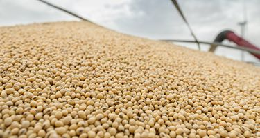 soybeans pile
