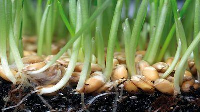 wheat germination in soil