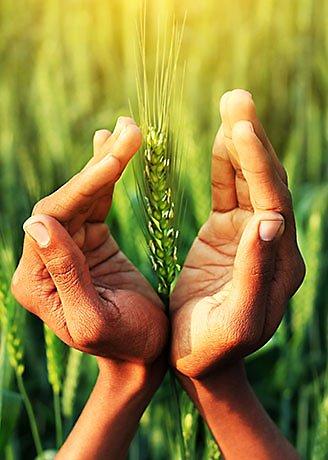 wheat sunlight