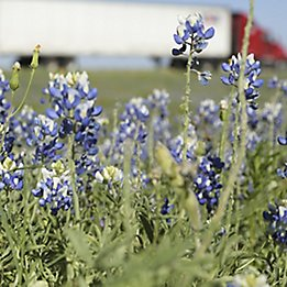 Image of snapdragons and dandelions along a roadside.