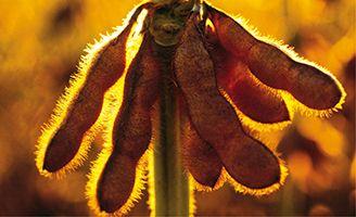 baccello di soia