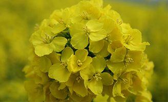 fiore di caolza