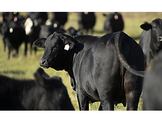 One black cow looking back