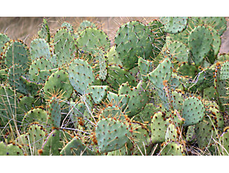 A picture of pricklypear
