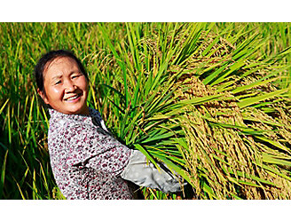 Asian-woman-carrying-rice-stalks-1_beauty_1_64-1