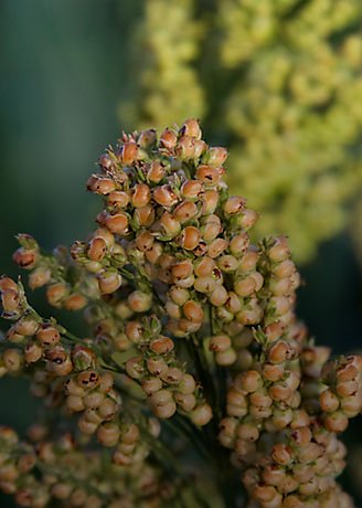 Primer plano de cultivo de sorgo
