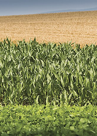 Corn and wheat crops