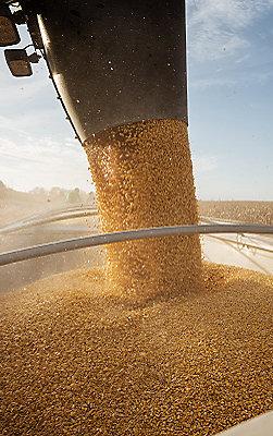 IMG_Corn_Harvest_251_400
