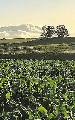 Champ de maïs avec du soleil