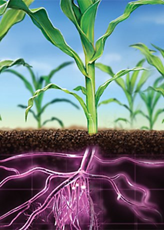 Corn plants with purple roots