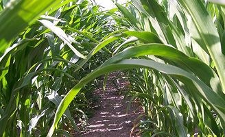 Maize rows