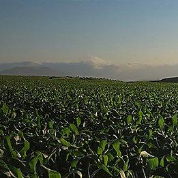 P8451 - kukurydza na ziarno I kiszonkę.