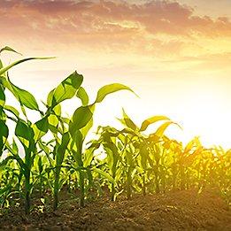 P8723 - kukurydza na ziarno I kiszonkę.