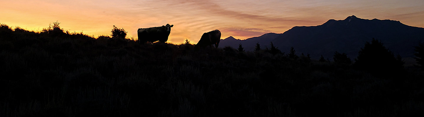 silhouette of cows at dusk