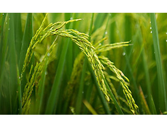 """Image of rice grain in rice field """