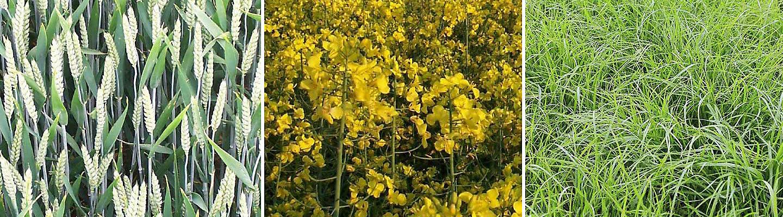 wheat, oilseed rape, grass