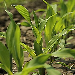 early season corn in field
