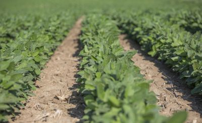 Soybeans early in the season.