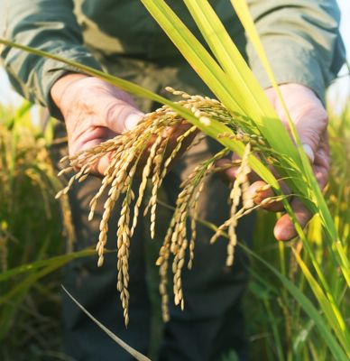 Hand inspecting rice stalk