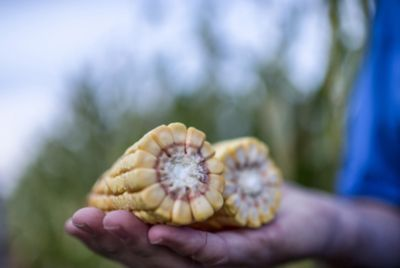 hand holding a broken cob of corn