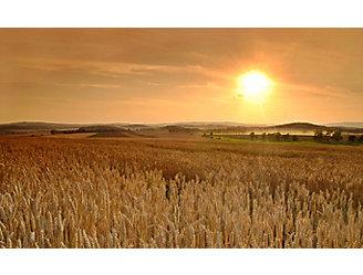 late-season-wheat-field-1_beauty_1_64-1