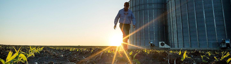 Man walking in emergence corn field