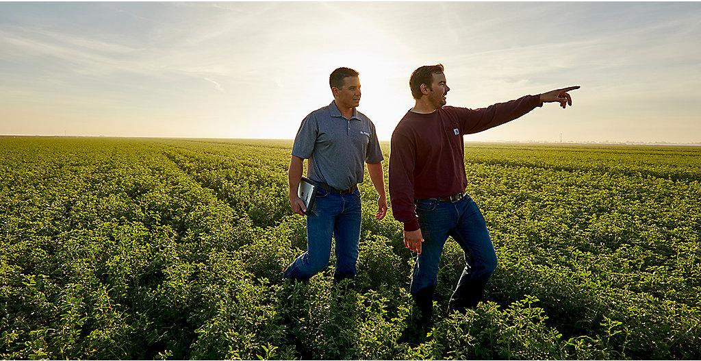 Midseaon alfalfa field