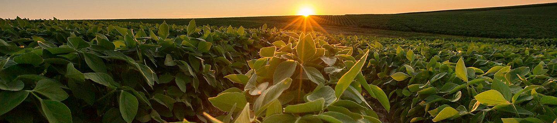 Midseason soybean field