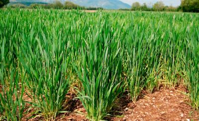Young, growing, wheat crop
