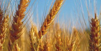 wheat in a field close up