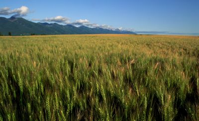 wheat field with mountains in background