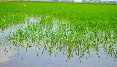 Young rice field