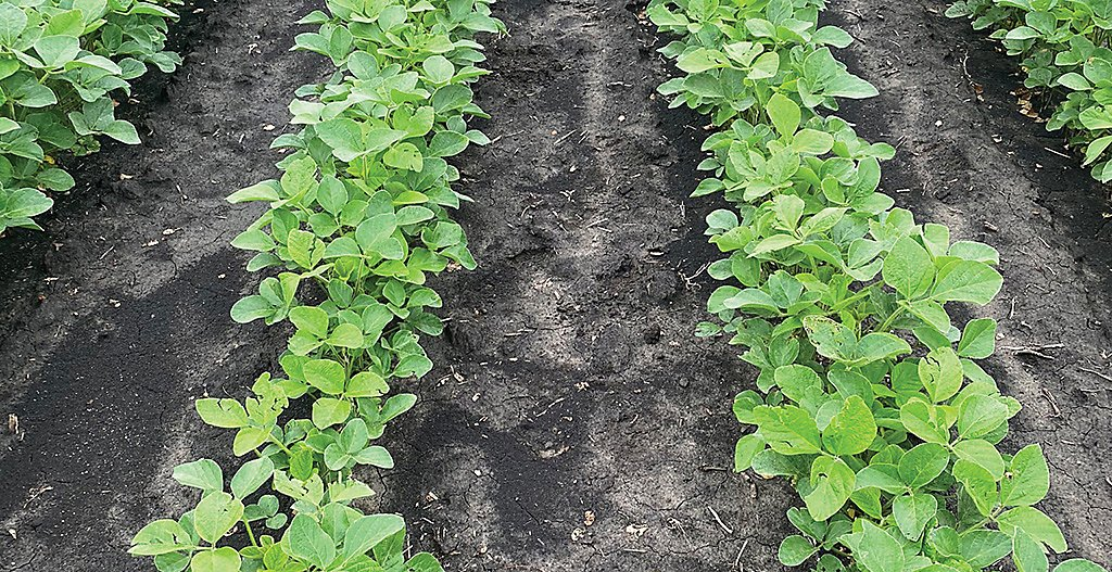 Kyber treated soybean plot 6weeks after application
