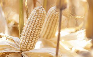 Mazorca de maíz blanco en temporada de cosecha