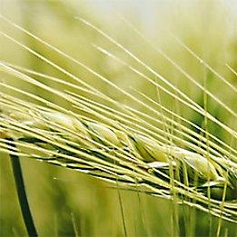 Wheat head close up