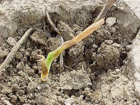 Soft translucent tissue near the growing point indicates that this corn plant will not recover.