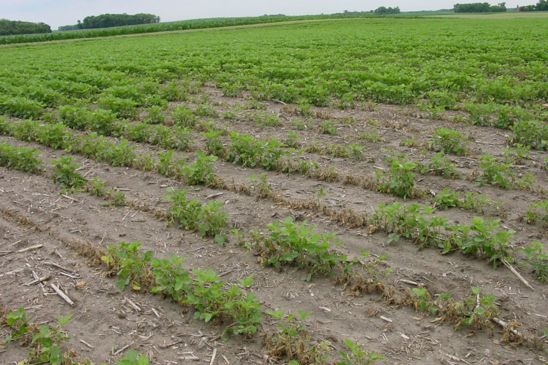 This is a photo showing soybean stand loss due to Fusarium infection.
