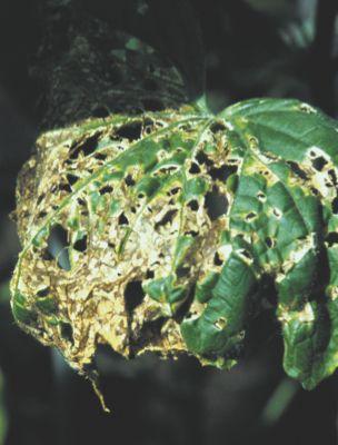 斑点細菌病
