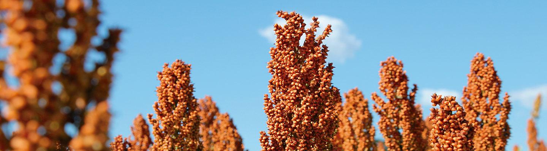 Plantas de sorgo, com céu azul de fundo.