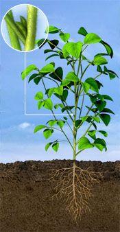 R3 Soybean Stage: Beginning Pod Development