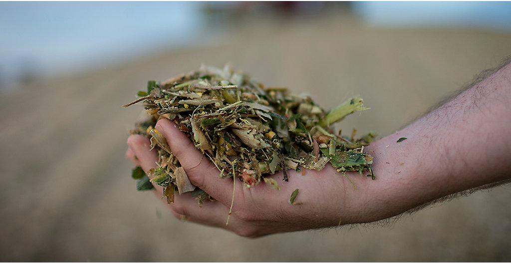 Hand holding silage