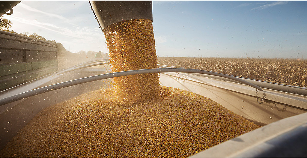 Corn seed in auger
