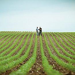 Emergent Corn Field