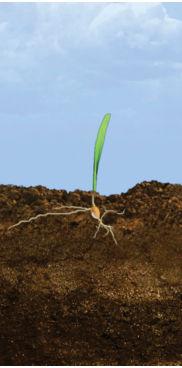 VE - V1 Corn Growth Stages
