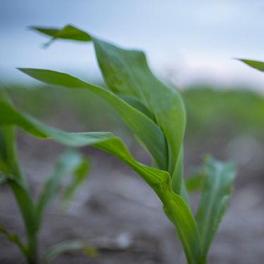 Resurging Populations of Western Corn Rootworm